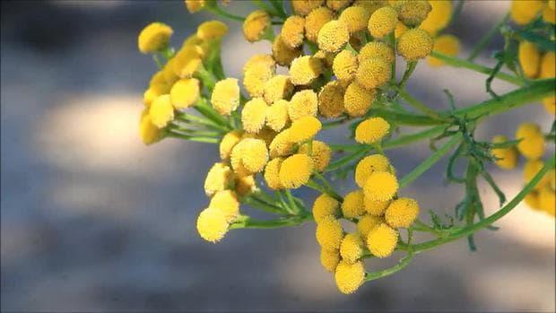 съцветие калоферче