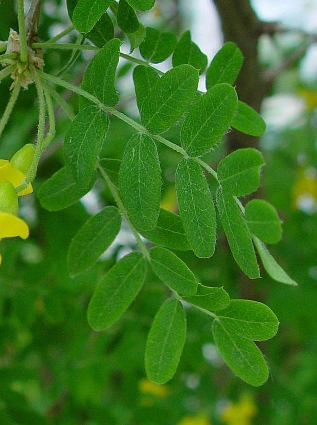 листа на жълта акация
