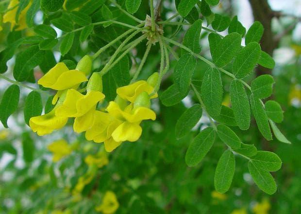 жълт салкъм