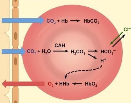 транспорт на въглеродния диоксид в кръвта