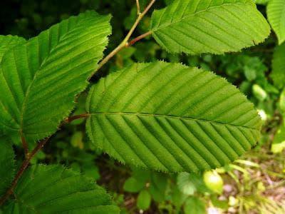 листа на обикновен габър