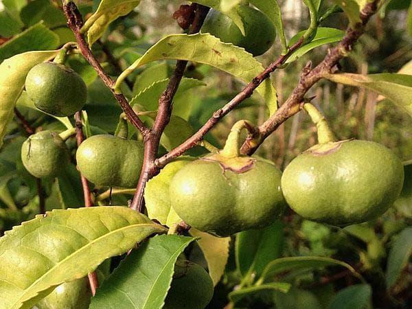 плодове на чай