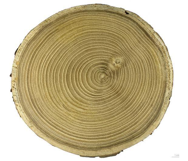 дървесина на ядлив кестен