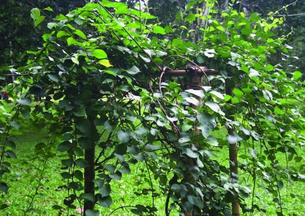 целаструс лиана