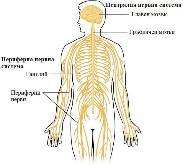 централна и периферна нервна система