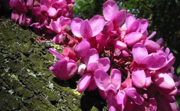 цветове на див рожков