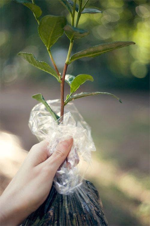 Разсадка чаено дърво