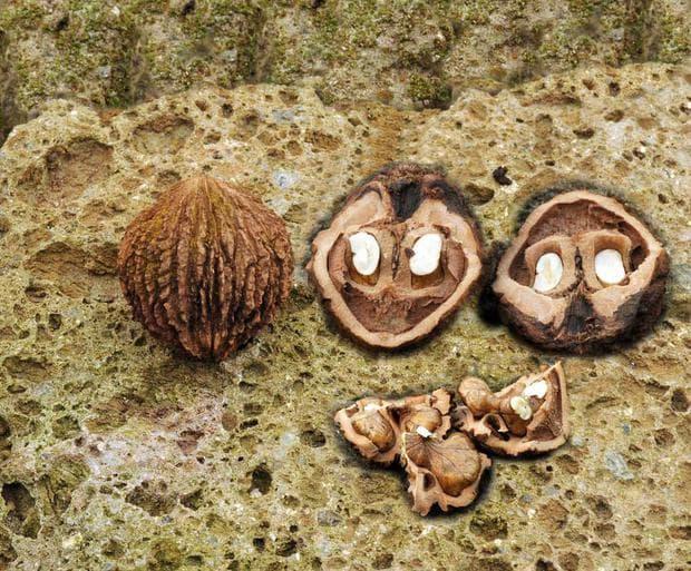 плодове на черен орех