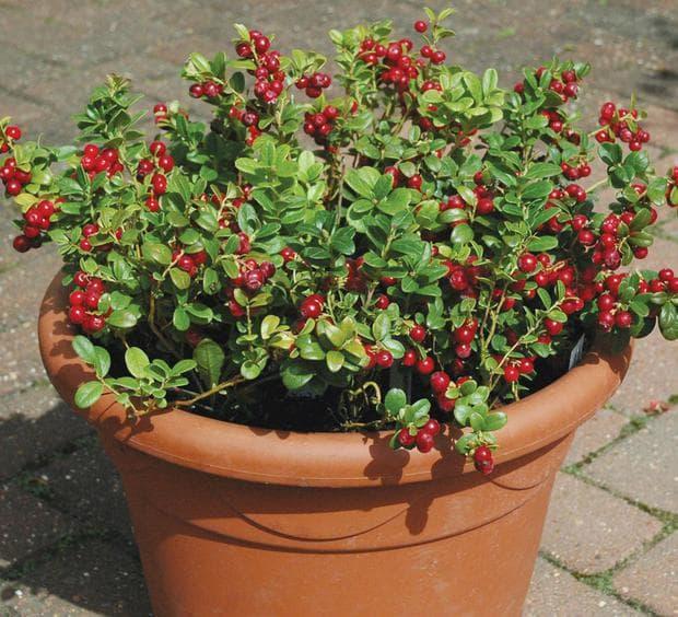 Червената боровинка е изключително красиво растение, което може да се отглежда и като декоративно