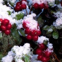Плодовете на червената боровинка презимуват под снега