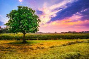 дърво кестен