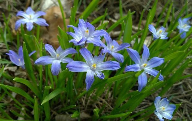 хионодокса растение