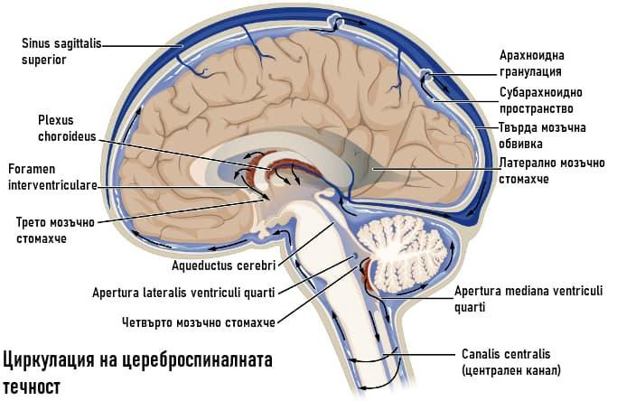 Циркулация на гръбначномозъчната течност