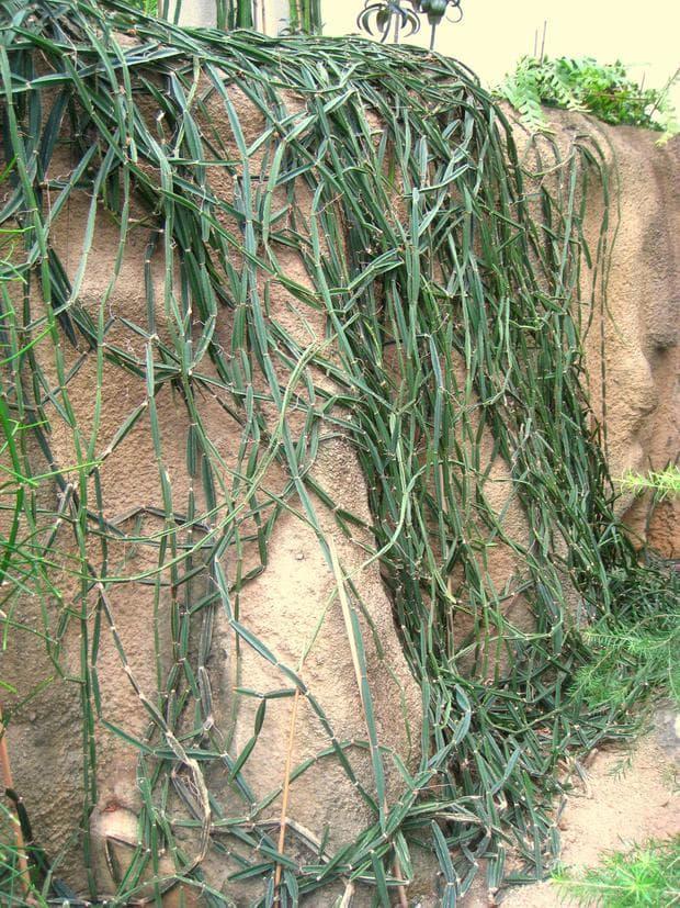 цисус растение