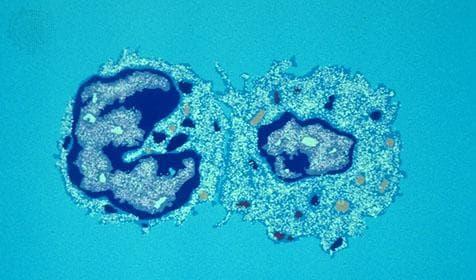 Т-ефекторни клетки