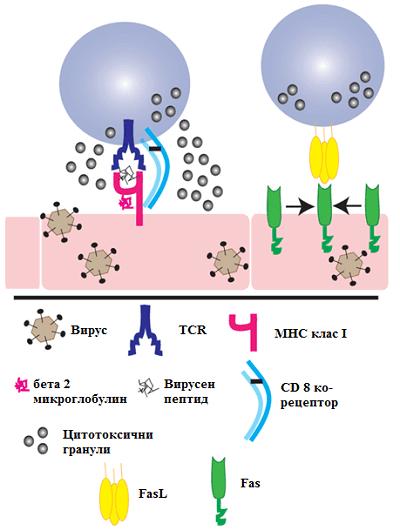 цитотоксични Т-клетки