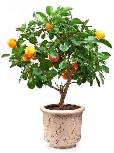 дърво мандарина