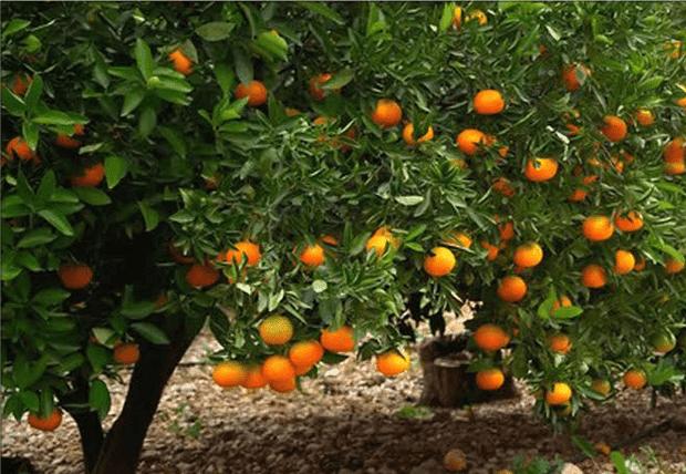 дърво кисел портокал