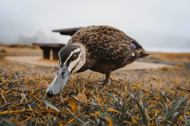 патица