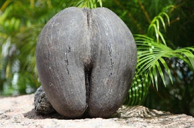 Растение от Сейшелите