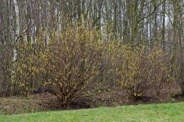 цъфтящо лешниково дърво
