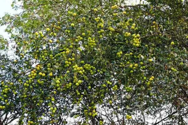 диви ябълки