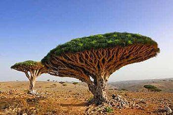 дърво на дракона