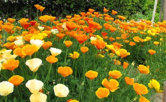 цветове на калифорнийски мак