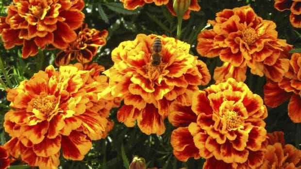 цветен тагетес