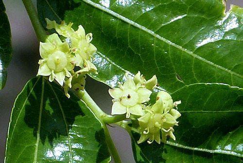 листа и цветове на хинап