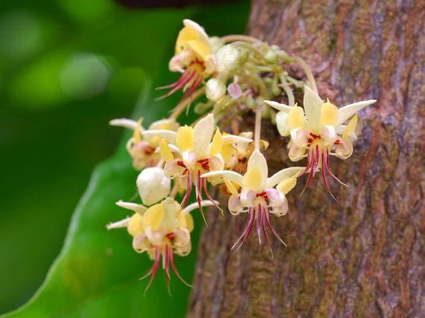 цветове на какаово дърво