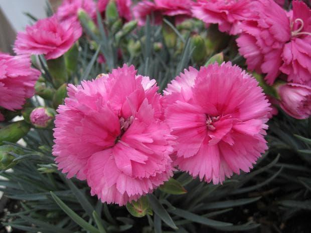 розов градински карамфил