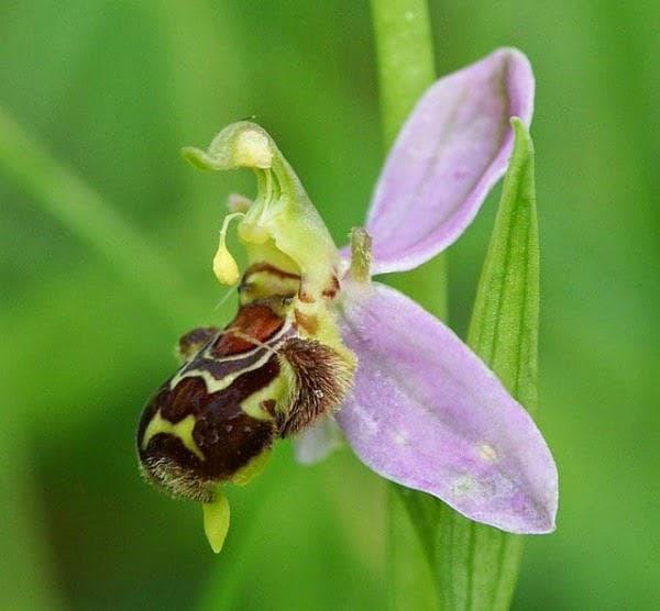 орхидея пчела