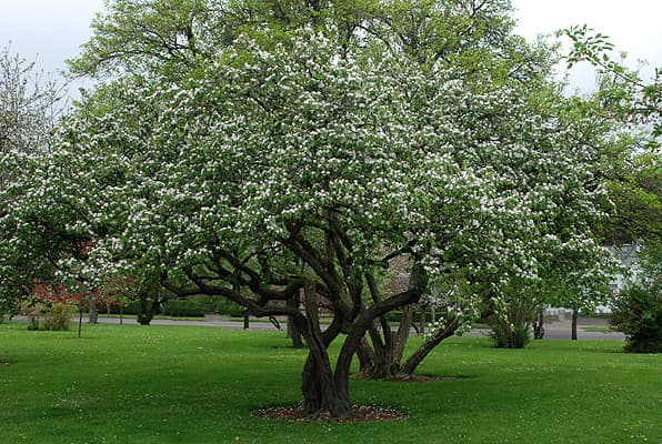 дюлево дърво