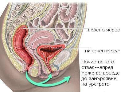 Тазови органи разположение