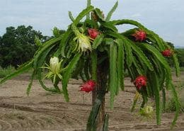 дърво на драконов плод