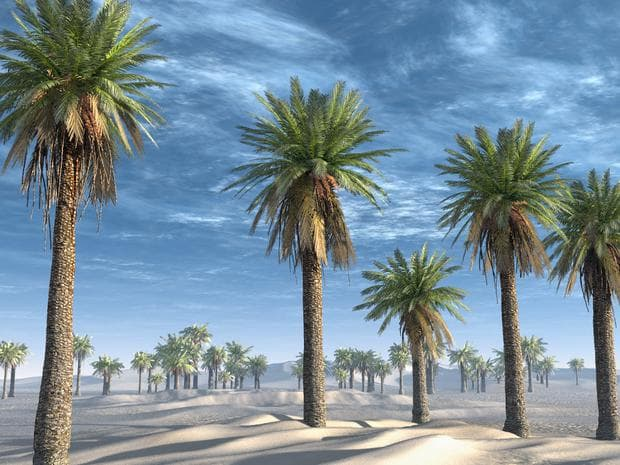 финикови палми