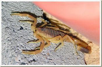 Смъртоносен ловуващ скорпион