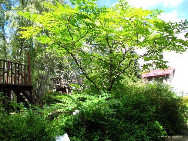 дърво аралия