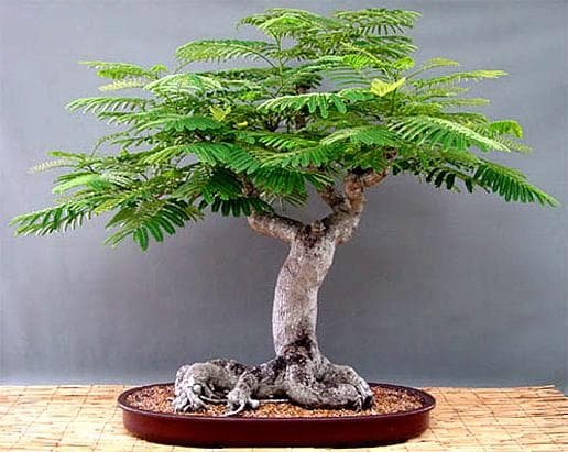 бонзай огнен дърво