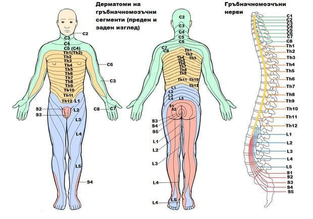 Дерматоми на гръбначномозъчни сегменти