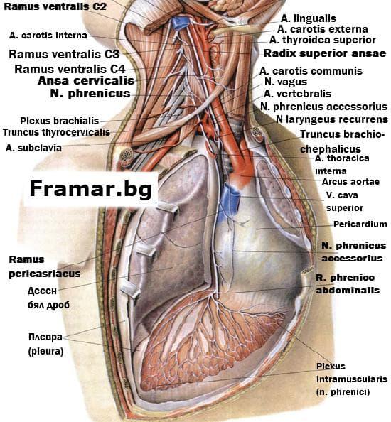 Диафрагмален нерв в гръдна кухина