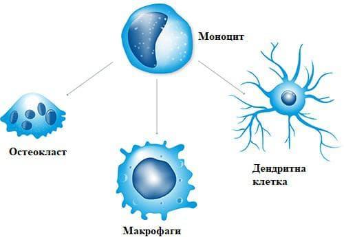 моноцити