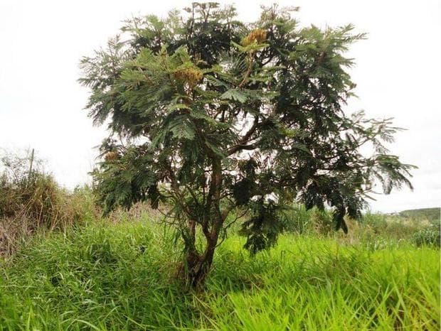 дърво диморфандра молис