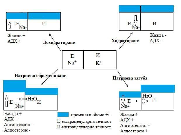 динамика на телесните течности