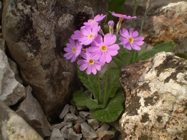 растение на старопланинска иглика
