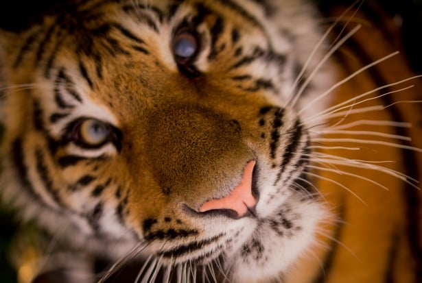 Див тигър