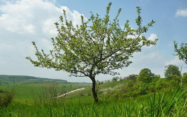 дива ябълка дърво