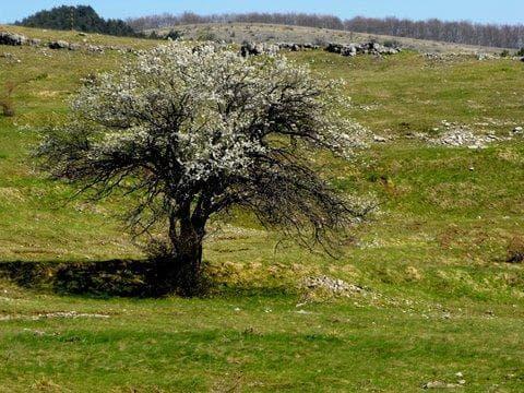 диво дърво джанка