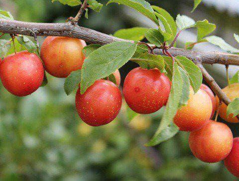 плод на джанка